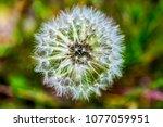 macro view of dandelion seeds ... | Shutterstock . vector #1077059951