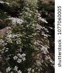 white cilantro coriander... | Shutterstock . vector #1077060005