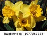beautiful spring daffodils | Shutterstock . vector #1077061385