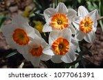 beautiful spring daffodils | Shutterstock . vector #1077061391