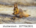 squirrel gnaws  eats a nut in... | Shutterstock . vector #1077062831