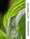 Small photo of Rolled leaves of raspberry by caterpillar of Archips rosana (Cacoecia) the rose tortrix Tortricidae.