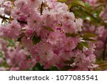 blossoming peach tree branches. | Shutterstock . vector #1077085541