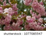 blossoming peach tree branches. | Shutterstock . vector #1077085547