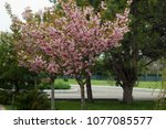 blossoming peach tree branches. | Shutterstock . vector #1077085577