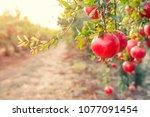 alley of ripe pomegranate... | Shutterstock . vector #1077091454