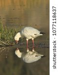 Ross's Goose And Reflection