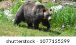 the grizzly bear also known as...   Shutterstock . vector #1077135299
