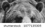the grizzly bear also known as...   Shutterstock . vector #1077135305