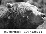 the grizzly bear also known as...   Shutterstock . vector #1077135311