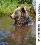 the grizzly bear also known as...   Shutterstock . vector #1077135329