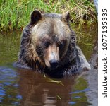 the grizzly bear also known as...   Shutterstock . vector #1077135335