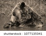 the grizzly bear also known as...   Shutterstock . vector #1077135341