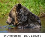 the grizzly bear also known as...   Shutterstock . vector #1077135359