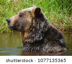 the grizzly bear also known as...   Shutterstock . vector #1077135365