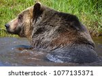 the grizzly bear also known as...   Shutterstock . vector #1077135371