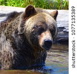 the grizzly bear also known as...   Shutterstock . vector #1077135389