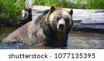 the grizzly bear also known as...   Shutterstock . vector #1077135395