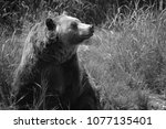 the grizzly bear also known as...   Shutterstock . vector #1077135401