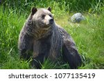the grizzly bear also known as...   Shutterstock . vector #1077135419