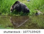 the grizzly bear also known as...   Shutterstock . vector #1077135425