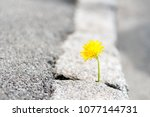 the plant  the yellow dandelion ... | Shutterstock . vector #1077144731