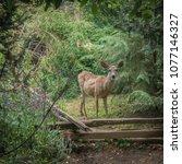 A Single Mule Deer Surprised I...