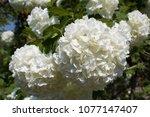 White Hydrangea   Snowball Tree