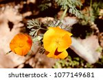 california poppies in spring... | Shutterstock . vector #1077149681
