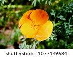 california poppies in spring... | Shutterstock . vector #1077149684