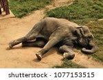 an elephant lying down   Shutterstock . vector #1077153515