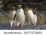 A Group Of Macaroni Penguins...