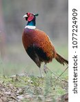 Small photo of Ring-necked Pheasant (Phasianus colchicus), Courtenay, Vancouver Island, Canada Photo: Peter Llewellyn