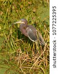 Small photo of Tricolored Heron (Egretta tricolor), Wakodahatchee Wetlands, Delray Beach, Florida, USA