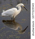 Small photo of Snowy Egret Egretta caerulea Wakodahatchee Wetlands Delray Beach Florida USA