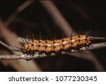Small photo of Gulf Fritillary Butterfly Larva Caterpillar (Agraulis Vanillae)