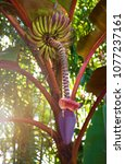 Small photo of Beautiful red and purple Abyssinian Banana leaves, flower and fruit shot from below with sunlit leaves