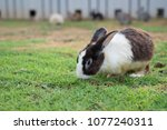 this is a white rabbit sitting... | Shutterstock . vector #1077240311