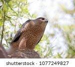 Big Cooper's Hawk Sitting In A...