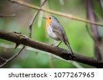 the european robin  erithacus...   Shutterstock . vector #1077267965