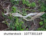 Small photo of Snake molting.Moulting can involve shedding the epidermis (skin), pelage (hair, feathers, fur, wool), or other external layer. In some groups, other body parts may be shed.