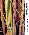 Small photo of Bambusa multiplex Alphose Karr Clumping Bamboo, Yangtze Valley, China origin, plant located in Savannah, Georgia.