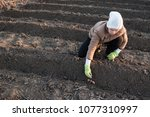 young peasant woman planted...   Shutterstock . vector #1077310997