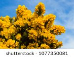 Yellow Flowers On A Common Whin ...