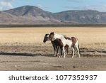 onaqui herd wild mustangs in... | Shutterstock . vector #1077352937