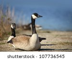 Two Wild Goose By The Lake