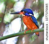 beautiful bird  male of blue...   Shutterstock . vector #1077370085