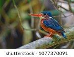 beautiful bird  female of blue...   Shutterstock . vector #1077370091