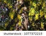 Yellow Wisteria In Bloom