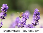 Lavender Flowers Grow In The...